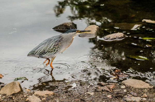 Pájaro que utiliza pan para pescar